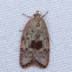 Garrha phoenopis (A Concealer moth) at Melba, ACT - 3 Jan 2021 by kasiaaus