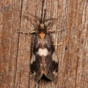 Anestia (genus) at Melba, ACT - 3 Jan 2021