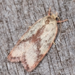 Garrha phoenopis (A Concealer moth) at Melba, ACT - 3 Jan 2021 by kasiaaus