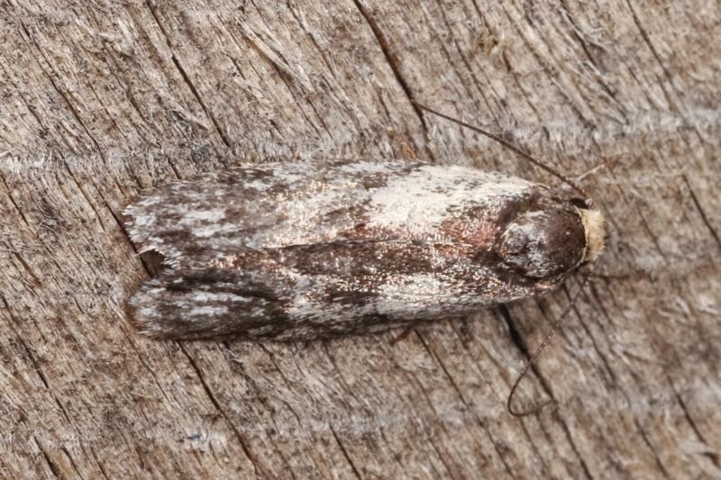 Phylomictis maligna at Melba, ACT - 3 Jan 2021