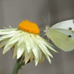 Pieris rapae (Cabbage White) at ANBG - 6 Jan 2021 by TimL