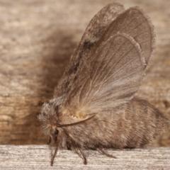 Pernattia pusilla (She-oak Moth) at Melba, ACT - 3 Jan 2021 by kasiaaus