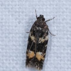 Ardozyga (genus) (Twirler moth, gelechiid moth) at Melba, ACT - 3 Jan 2021 by kasiaaus