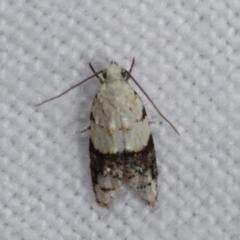 Tracholena sulfurosa (A tortrix moth) at Melba, ACT - 3 Jan 2021 by kasiaaus