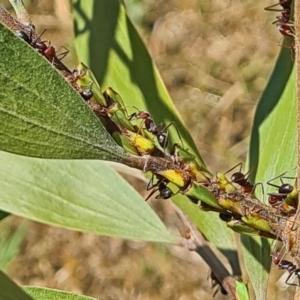 Sextius virescens at Sth Tablelands Ecosystem Park - 14 Jan 2021