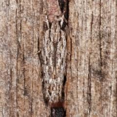 Ardozyga undescribed species nr amblopis (A Gelechioid moth) at Melba, ACT - 3 Jan 2021 by kasiaaus