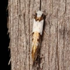 Monopis meliorella (Blotched Monopis Moth) at Melba, ACT - 3 Jan 2021 by kasiaaus