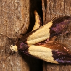Eulechria heliophanes (A Concealer moth) at Melba, ACT - 3 Jan 2021 by kasiaaus