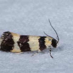 Telecrates melanochrysa (A Xylorictid moth) at Melba, ACT - 3 Jan 2021 by kasiaaus