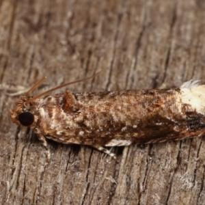 Olethreutinae (subfamily) at Melba, ACT - 3 Jan 2021
