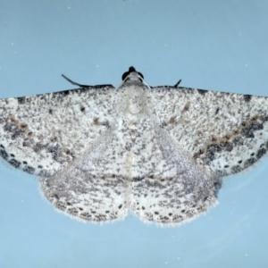 Taxeotis intextata at Ainslie, ACT - 12 Jan 2021