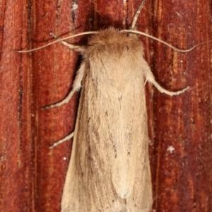 Bathytricha truncata at Melba, ACT - 3 Jan 2021