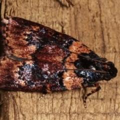 Mimaglossa nauplialis (A Pyralid moth) at Melba, ACT - 3 Jan 2021 by kasiaaus
