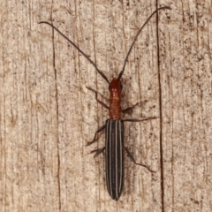 Syllitus rectus (Syllitus longhorn beetle) at Melba, ACT - 3 Jan 2021 by kasiaaus