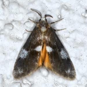 Anestia (genus) at Ainslie, ACT - 12 Jan 2021
