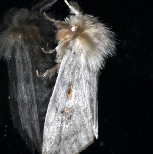 Leptocneria reducta at Ainslie, ACT - 12 Jan 2021