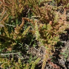 Crassula sieberiana (Austral Crassula) at Berridale, NSW - 13 Nov 2020 by AndyRussell