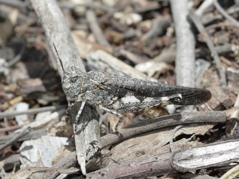 Austroicetes sp. (genus) at ANBG - 8 Jan 2021