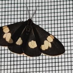 Nyctemera amicus (Senecio or Magpie moth) at Isaacs, ACT - 14 Jan 2021 by Mike