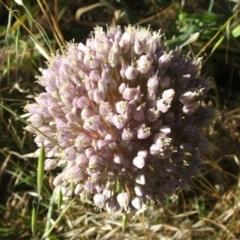 Allium sativum (Garlic) at Jones Creek, NSW - 11 Dec 2005 by abread111