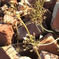 Nothoscordum borbonicum (Onion Weed) at Jones Creek, NSW - 11 Dec 2005 by abread111