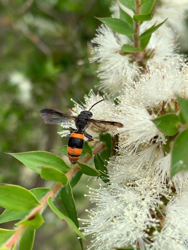 Hyleoides concinna at Murrumbateman, NSW - 2 Jan 2021