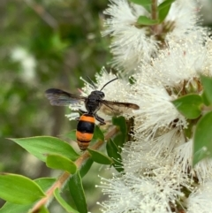 Hyleoides concinna (Wasp-mimic bee) at Murrumbateman, NSW - 2 Jan 2021 by SimoneC