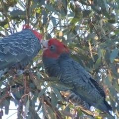 Callocephalon fimbriatum (Gang-gang Cockatoo) at Garran, ACT - 14 Jan 2021 by roymcd