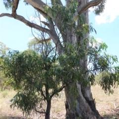 Acacia implexa at Red Hill Nature Reserve - 14 Jan 2021
