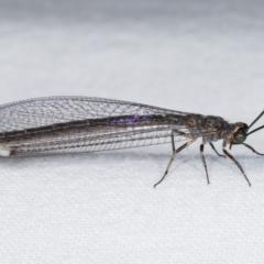 Myrmeleon acer (Myrmeleon Antlion Lacewing) at Melba, ACT - 3 Jan 2021 by kasiaaus
