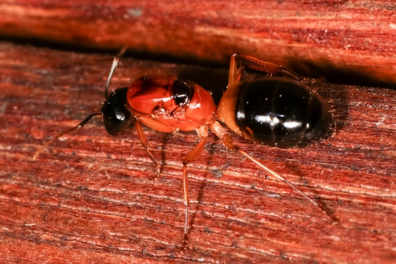 Camponotus consobrinus at Melba, ACT - 3 Jan 2021