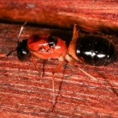 Camponotus consobrinus (Banded sugar ant) at Melba, ACT - 3 Jan 2021 by kasiaaus