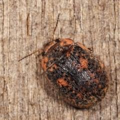 Trachymela sp. (genus) at Melba, ACT - 3 Jan 2021