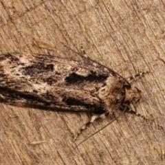 Barea (genus) (A concealer moth) at Melba, ACT - 3 Jan 2021 by kasiaaus