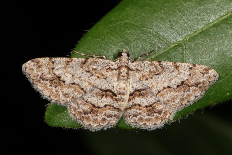 Didymoctenia exsuperata at Melba, ACT - 3 Jan 2021