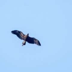 Aquila audax (Wedge-tailed Eagle) at Penrose - 14 Jan 2021 by Aussiegall