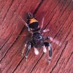 Apricia jovialis (Jovial jumping spider) at Aranda, ACT - 13 Jan 2021 by KMcCue