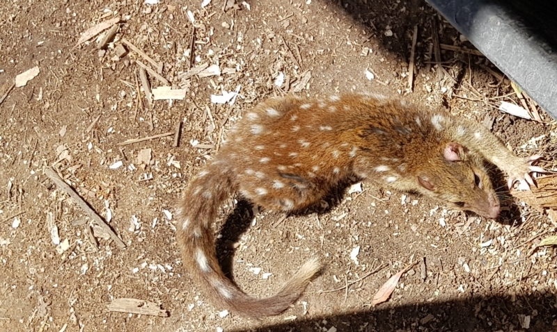 Dasyurus maculatus at Black Flat at Corrowong - 13 Jan 2021