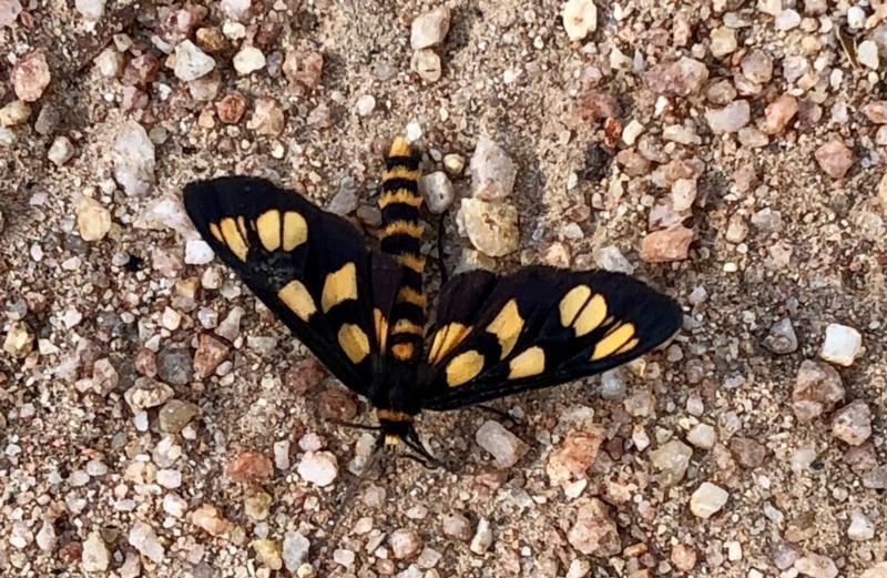 Amata (genus) at Namadgi National Park - 14 Jan 2021