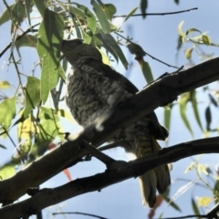 Ptilonorhynchus violaceus (Satin Bowerbird) at Namadgi National Park - 14 Jan 2021 by KMcCue