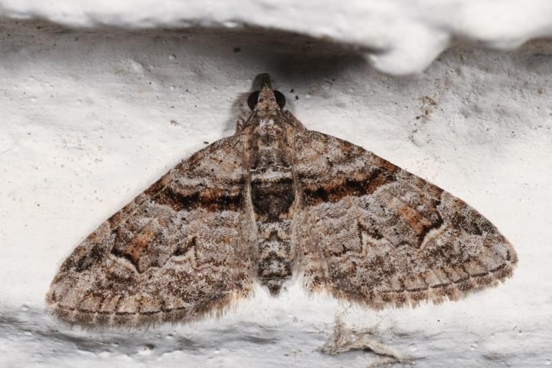 Phrissogonus laticostata at Melba, ACT - 2 Jan 2021