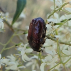 Bisallardiana gymnopleura (Brown flower chafer) at Mount Painter - 14 Jan 2021 by CathB