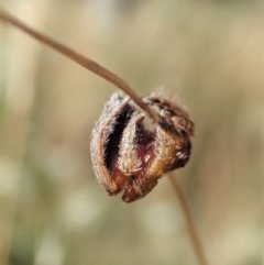 Dolophones sp. (genus) at Mount Painter - 10 Jan 2021