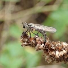 Cerdistus varifemoratus (Robber fly) at Holt, ACT - 7 Jan 2021 by CathB