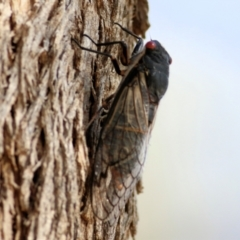 Psaltoda moerens (Redeye Cicada) at Wodonga - 9 Jan 2021 by Kyliegw