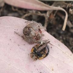 Dolophones sp. (genus) (Wrap-around spider) at Higgins, ACT - 11 Jan 2021 by AlisonMilton