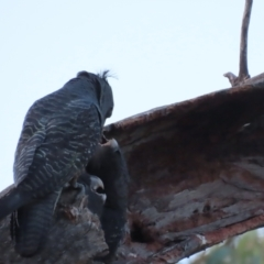 Callocephalon fimbriatum (Gang-gang Cockatoo) at Mount Mugga Mugga - 15 Jan 2021 by roymcd