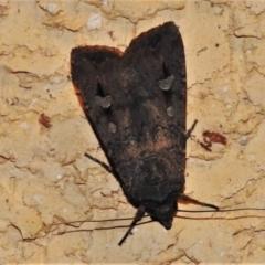 Agrotis infusa (Bogong Moth, Common Cutworm) at Wanniassa, ACT - 14 Jan 2021 by JohnBundock