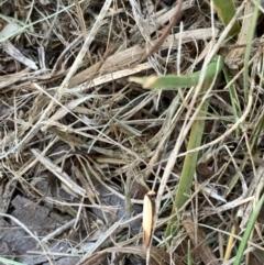 Chrysonoma paracycla (A Concealer moth) at Murrumbateman, NSW - 15 Jan 2021 by SimoneC