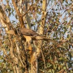 Accipiter fasciatus (Brown Goshawk) at Sutton, NSW - 17 Dec 2020 by rileydm